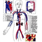Anatomy Worksheet and Answer Key of the Circulatory System