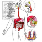 Anatomy Worksheet and Answer Key of the Digestive System