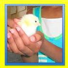 Baby Chick Handling Permission Form and Certificate