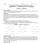 Beetle Chromosome Study Worksheet