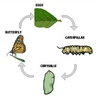 Butterfly Life Cycle Mini-Poster in Color