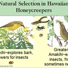 Evolution Natural Selection Hawaiian Honeycreepers