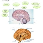 Human Brain - Bundled Unit PDF