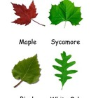 Kinds of Leaves 3 Part Cards