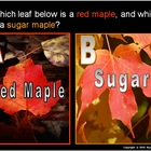 Leaf Identification PowerPoint Biology / Botany 200 Slides + Quiz