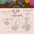 Life Cycle of a Bean Clip Art