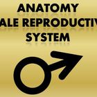 Male Reproductive Anatomy Notes Powerpoint Presentation