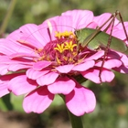 Nature Image: Katydid Atop Pink Zinnia