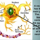 Neurons of the Nervous System