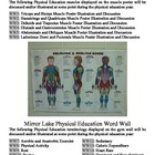 Physical Education Word Wall and Muscle Poster