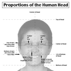 Proportions of the Head Handout