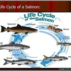 Salmon Unit, Life Cycles, Dams, Simulation,  Quiz, HW, Not
