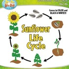 Sunflower Life Cycle Clipart Set  Comes In Color and Bl