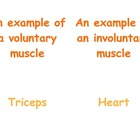 Teaching Muscles in P.E.: Second & Third Grade Muscle Matc