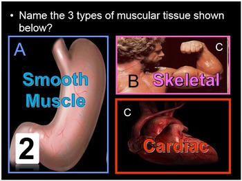 Muscular System Lesson
