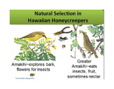 Natural Selection and Evolution of Hawaiian Honeycreeper Birds
