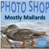 Photographs: Mostly Mallards